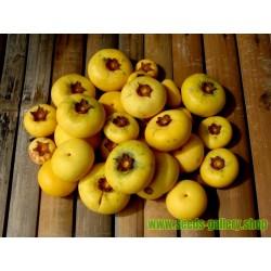Zlatna Jabuka Seme - vrlo mirisno, ukusno, jedinstveno, retko voce (Diospiros decandra)