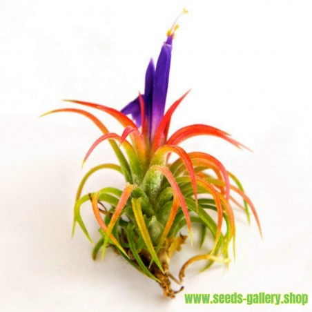 Tillandsia Ionantha Airplant Seeds