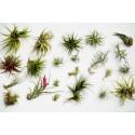 Seme Tikve Zmija (Trichosanthes cucumerina)