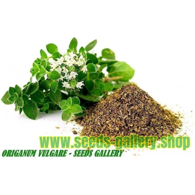 Oregano Seeds Greek Herb