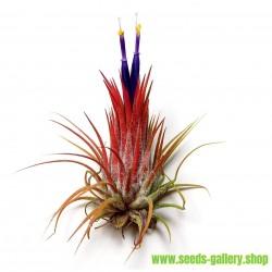 Sementes de PLANTA DE AR (Tillandsia Ionantha)