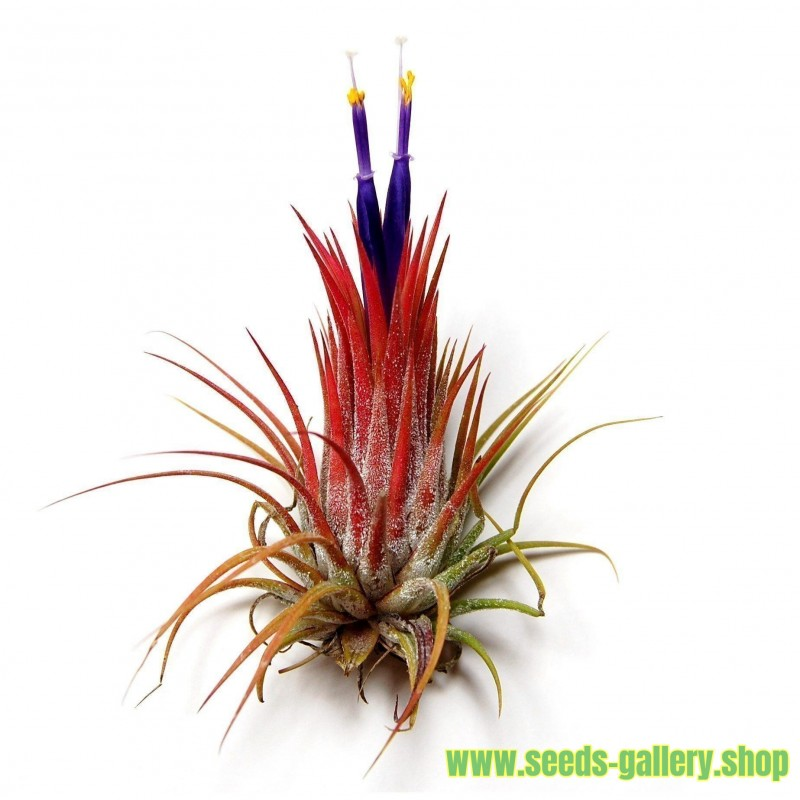Les Tillandsias Filles De L Air graines de air plante (tillandsia ionantha) - 2.95€