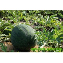 Yellow Watermelon JANOSIK 100 Seeds