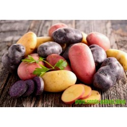 """Salute"" Multi Colored Potato Seeds"