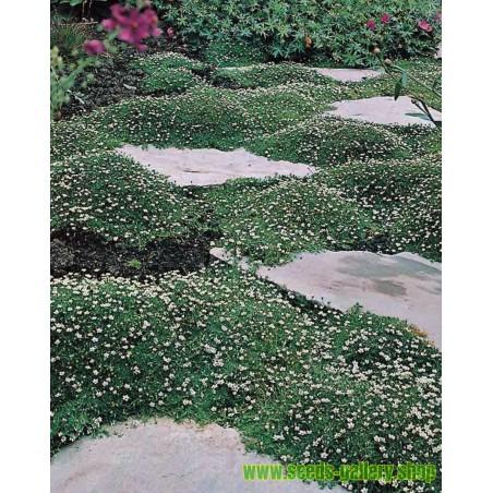 Irish Moss, Carrageen Moss Seeds (Chondrus Crispus)