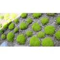 Graines de Gingembre thai - GRAND GALANGA (Alpinia galanga)