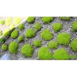 Knorpeltang, Knorpelmoos, Irländisches Moos Samen (Chondrus crispus)