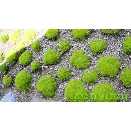 Sementes de Musgo-Do-Mar (Chondrus crispus)