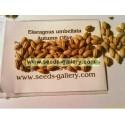 Σπόροι φθινόπωρο-ελιά σκληραγωγημένα -32C