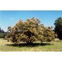 Selten Rusty sapindus Fruchtsamen (Lepisanthes rubiginosa)