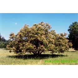 Chinese Chestnut Seeds (Castanea mollissima)
