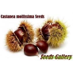 Semillas de Castaño Chino (Castanea mollissima)