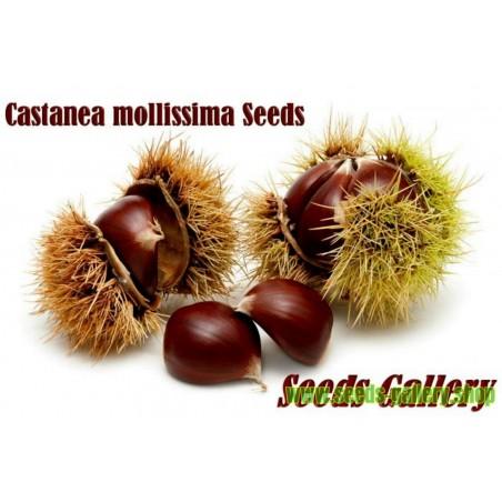 Semi di Castagno cinese (Castanea Mollissima)