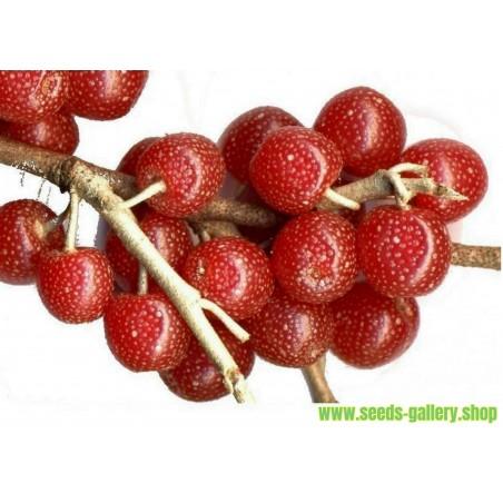 Japanese Silverberry - Autumn Olive Seeds (Elaeagnus umbellata)