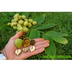 Herznuss Heartbreaker Samen - Juglans Ailantifolia Cordiformis
