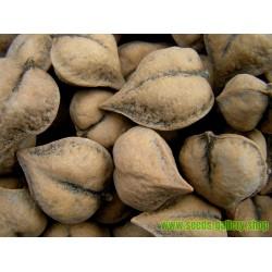 Sementes De Porca Do Coração - Juglans Ailantifolia Cordiformis