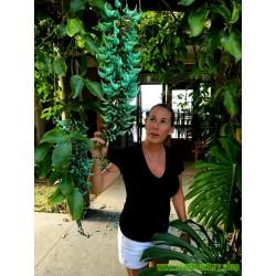 Turquoise Jade Vine - Emerald Vine Seeds (Strongylodon macrobotrys)