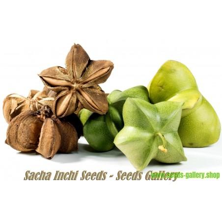 Sementes de Sacha Inchi, Amendoim-Inca (Plukenetia volubilis)
