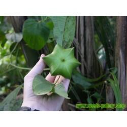 Σπόροι Inca Inchi (Plukenetia volubilis)