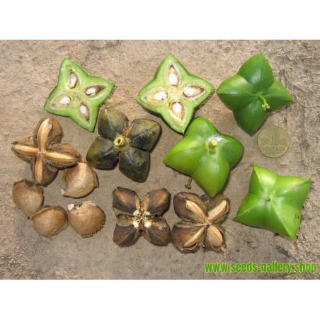 Mirakelfrucht - Wunderbeere Samen (Synsepalum dulcificum)