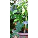 Inca Nut, Sacha Inchi, Sacha Peanut Seeds (Plukenetia volubilis)