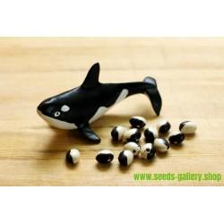 Graines de haricot Calypso - Orca - Yin Yang
