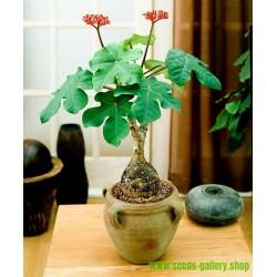 Buddha Belly Plant, Bottleplant Shrub Seeds (Jatropha podagrica)