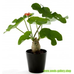 Buddha Belly Plant, Bottleplant Shrub Seeds (Jatropha podagrica)