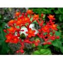 Röd Aloe Frö (Aloe cameronii)