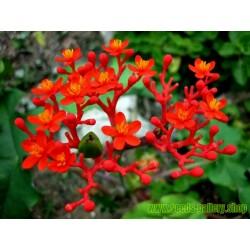 Flaskjatrofa Fröer (Jatropha podagrica)