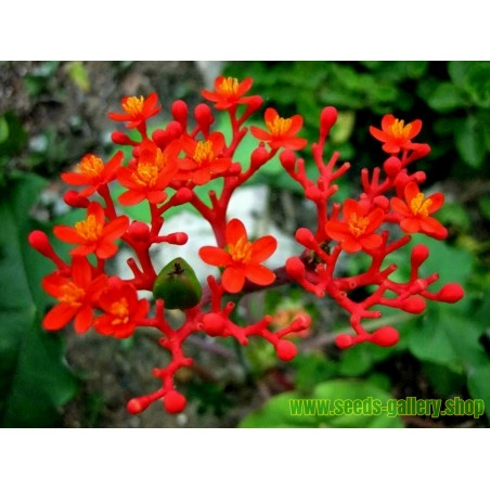 Graines de Plante Corail (Jatropha podagrica)
