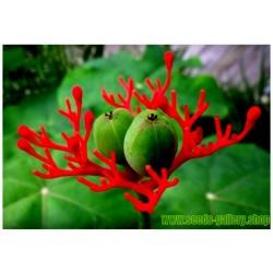 Semillas de Rubarbo, Tártago (Jatropha podagrica)