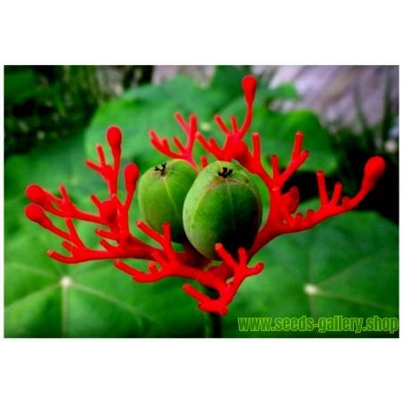 Semi di Aloe rosso (Aloe cameronii)