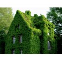 Common Ivy, English Ivy, European Ivy Seeds (Hedera helix)