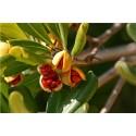 Semi di Shepherdia argentea - frutti commestibili
