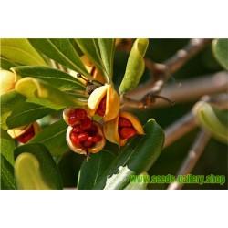 Japanese Pittosporum, Japanese Cheesewood Seeds (Pittosporum tobira)
