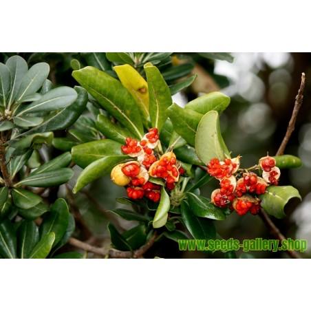 Pitospor Seme (Pittosporum tobira)
