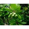 Försilvra Bisonbuske Fröer (Shepherdia argentea)