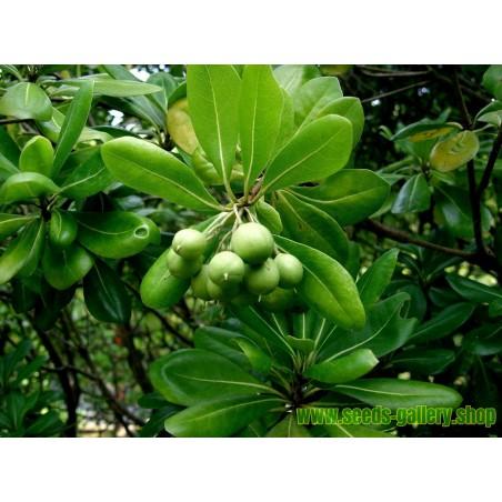 Silber Büffelbeere Samen - Essbare Früchte (Shepherdia argentea)