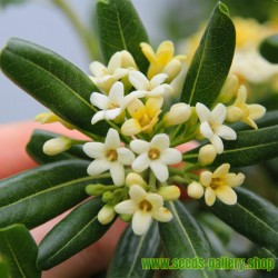 Zimt Samen – Kampferbaum (Cinnamomum camphora)