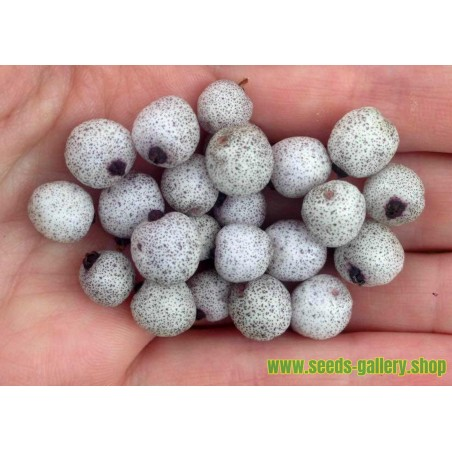 Silver Buffaloberry seeds - Edible fruits (Shepherdia Argentea)