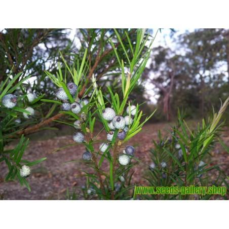 Midgen Berry Samen (Austromyrtus dulcis)