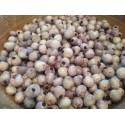 Graines de Vanille Bourbon (Vanilla planifolia)