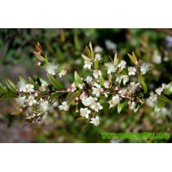 Bourbon Vanille - Echte Vanille Samen (Vanilla planifolia)