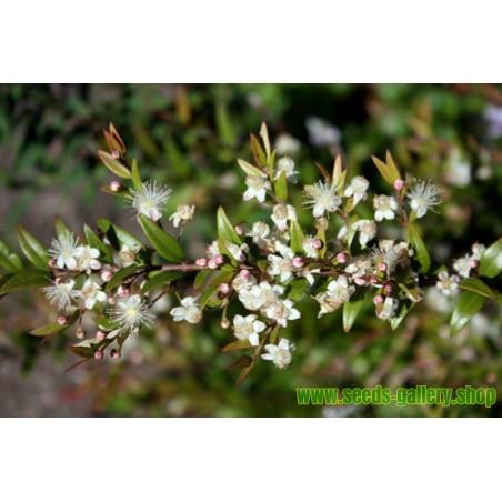 Semi di Amelanchier canadensis - frutti sani
