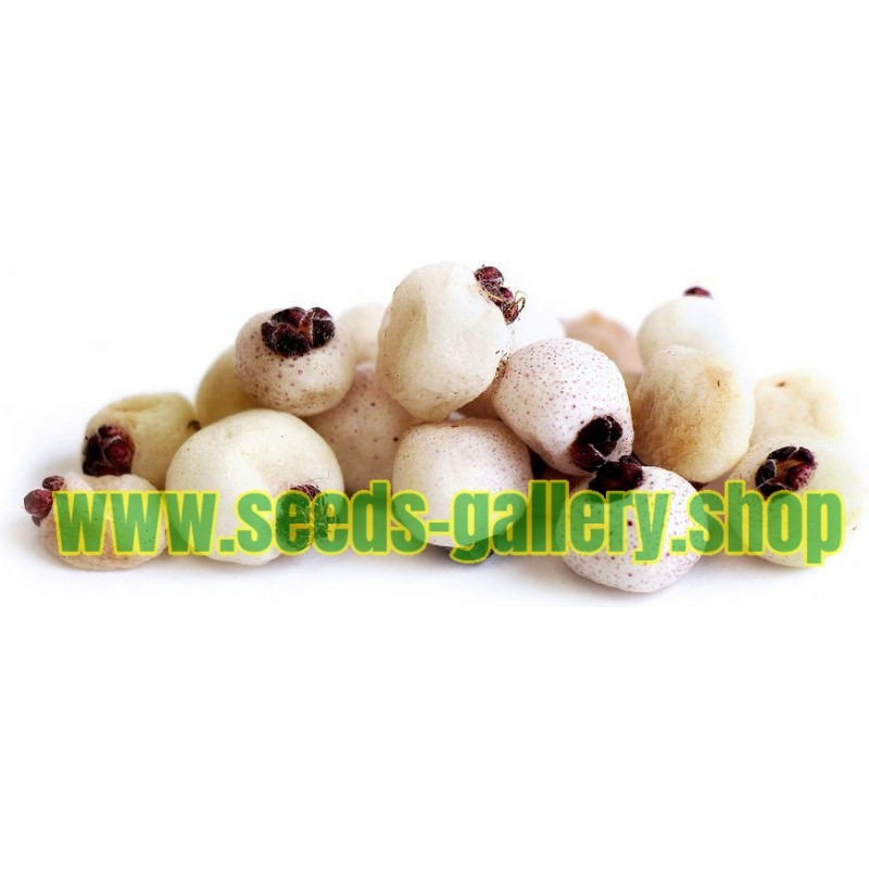 CANADIAN SERVICEBERRY Seeds (Amelanchier Canadensis)