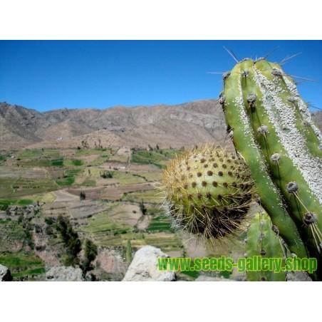 Chona – Guacalla - Sanky Seeds (Corryocactus brevistylus)
