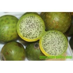 Chona – Guacalla - Sanky Fröer (Corryocactus brevistylus)