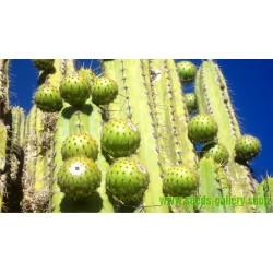 Semillas de Sancayo, Sanky, Guacalla (Corryocactus brevistylus)