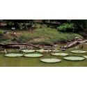 Graines de Ashwagandha - Ginseng indien (Withania Somnifera)